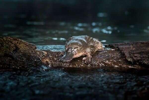 Smart water tank to improve platypus breeding odds