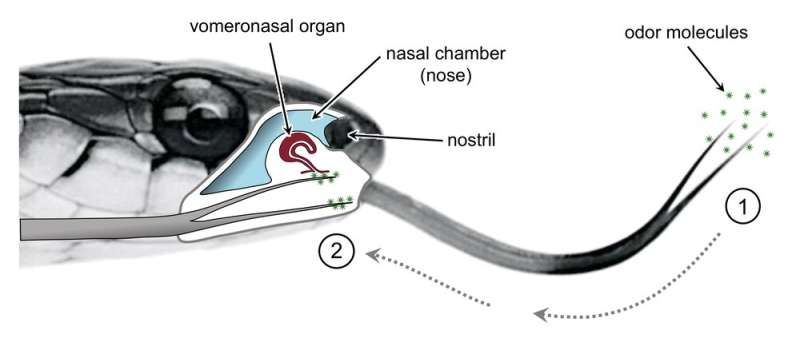 Smelling in stereo – the real reason snakes have flicking, forked tongues