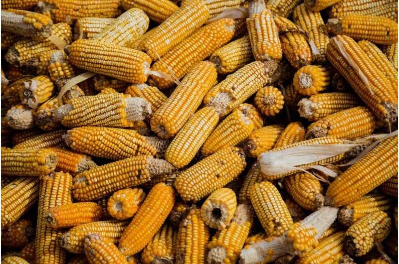 La degradación del suelo cuesta a los productores de maíz de EE. UU. 500 millones de dólares cada año