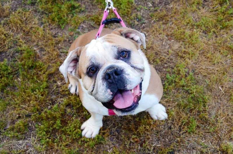 Some English bulldogs thought to have cancer may have newly identified syndrome
