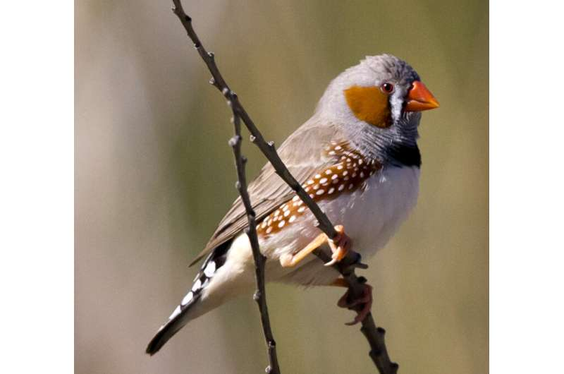 Songbirds can control single vocal muscle fibers when singing