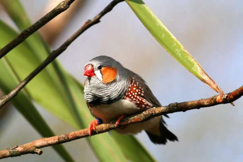 Songbirds exposed to lead-contaminated water show telltale signs about human impacts