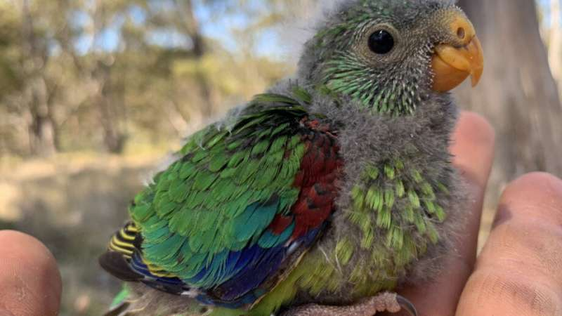 Sons favoured despite female shortage in endangered parrot