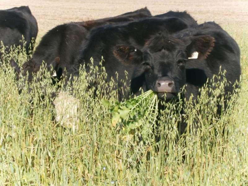 Los productores de Dakota del Sur cosechan las recompensas de los cultivos de cobertura