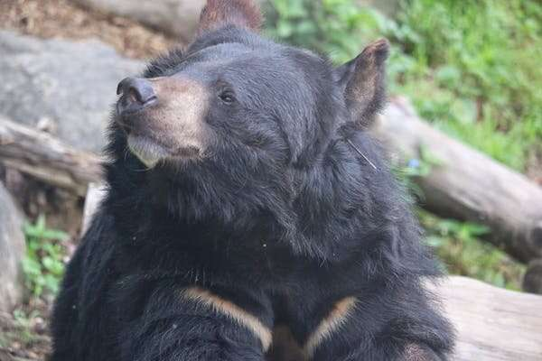 South Korea is bringing back bears in a country of 52 million people – I went to find out how