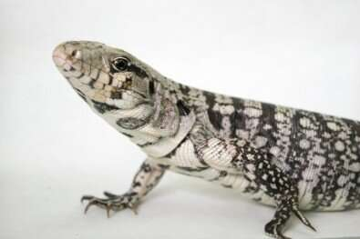South American lizard's blood pressure mechanism is more efficient at cool temperatures