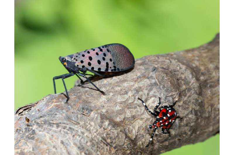 Spotted lanternfly: Research accelerates in effort to contain invasive pest