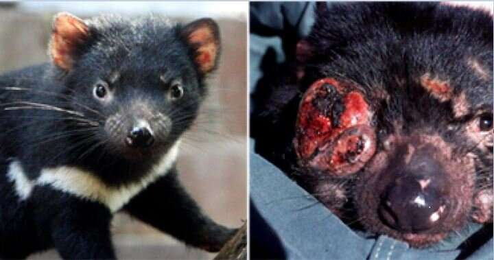 Statins could be key to saving Tasmanian devils