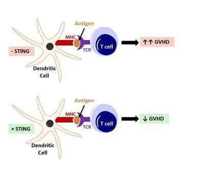 STING activation reduces graft-versus-host disease in a mouse model