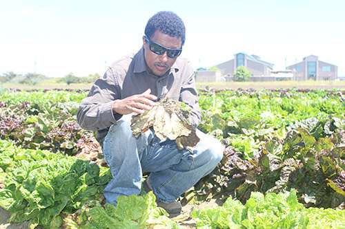 Stronger lettuce stems are a key part of disease resistance