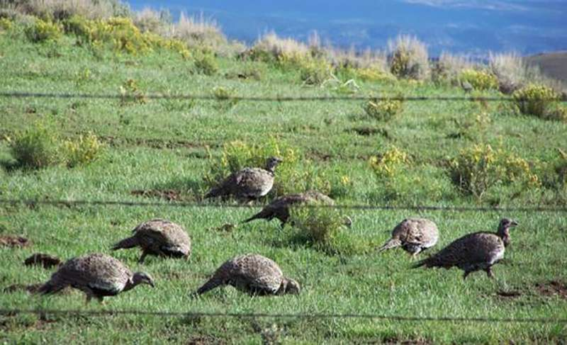 Studies find mixed results from sage grouse hunting restrictions