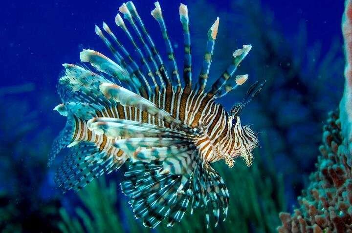 Study confirms invasive lionfish now threaten species along Brazilian coast