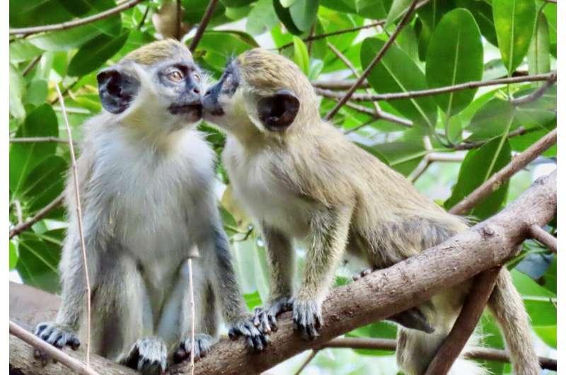 Study confirms origin of vervet monkeys living near an urban airport for decades