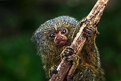 Study confirms two species of pygmy marmosets, world's smallest monkeys