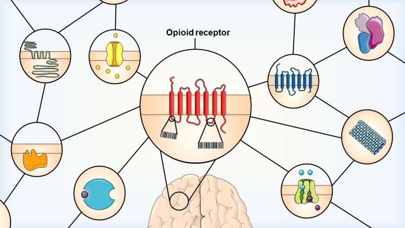 Study examines the differences between opioid receptor subtypes