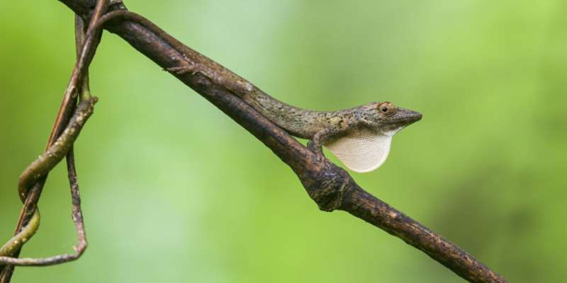 Study explores adaptation in island, mainland anoles