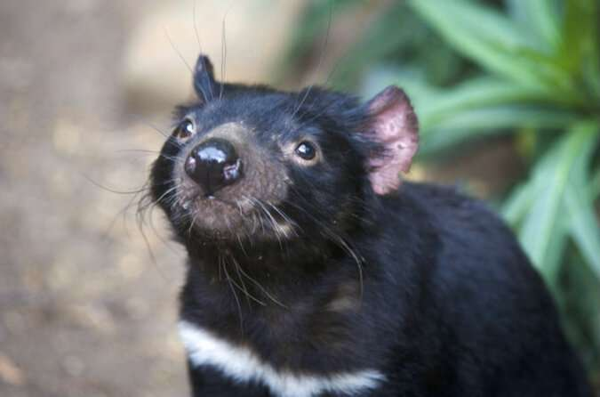 Study finds ongoing evolution in Tasmanian Devils' response to transmissible cancer