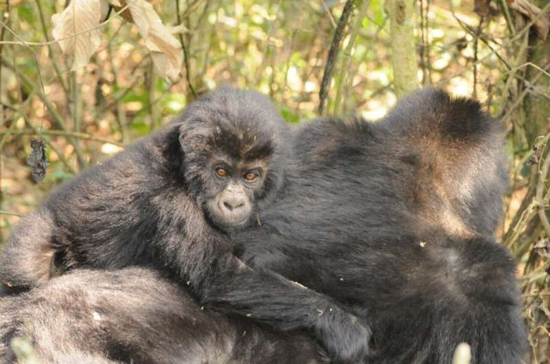 Study: Hope for critically endangered gorillas in eastern DRC