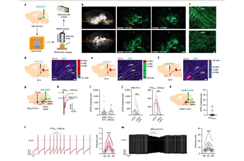 Study identifies a neural circuit involved in how pain modulates dopamine neurons