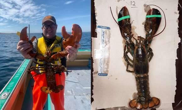 Study mapping lobster genome could hold keys to strengthening species
