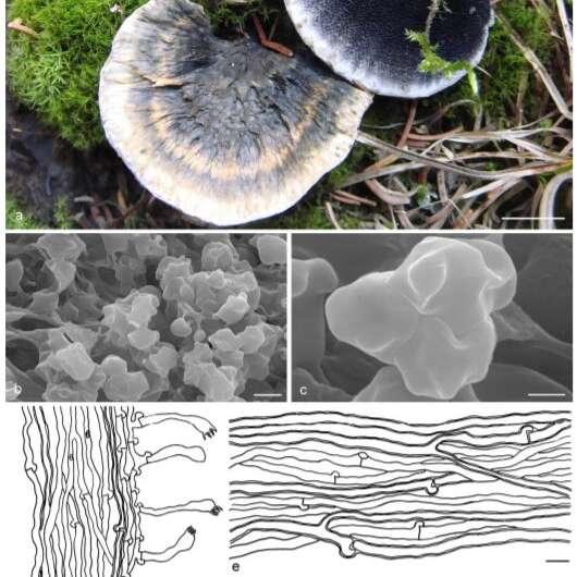 Estudio de hongos hydnaceous Stipitate en peligro de extinción en China
