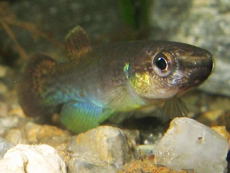 Study of mangrove rivulus fish hints at mechanism for brain evolution of land animals