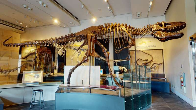 Study of tyrannosaur braincases shows more variation than previously thought
