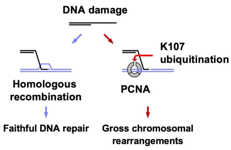 Study on chromosomal rearrangements in yeast reveals potential avenue for cancer therapy