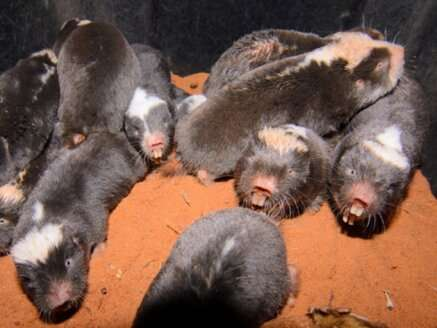 Study reveals why african mole-rats have a nose for 'social distancing'