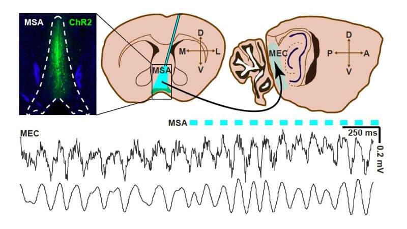 Study shows that precisely timed theta oscillations are required for mice to encode new memories