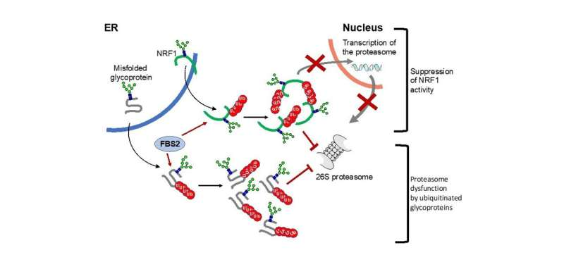 Study shows the mechanism how loss of de-N-glycosylation enzyme causes ill effect