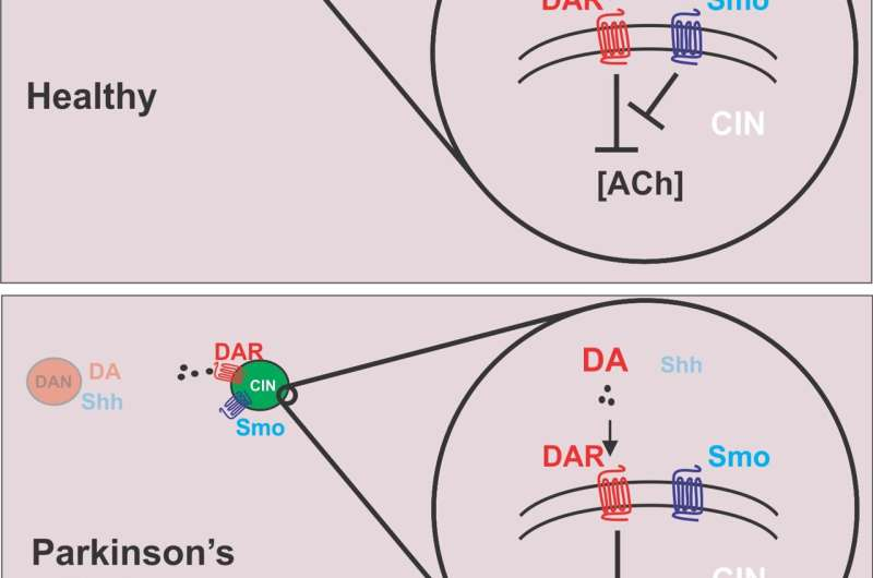 Study suggests sonic hedgehog protein pathway stimulation could help Parkinson's patients