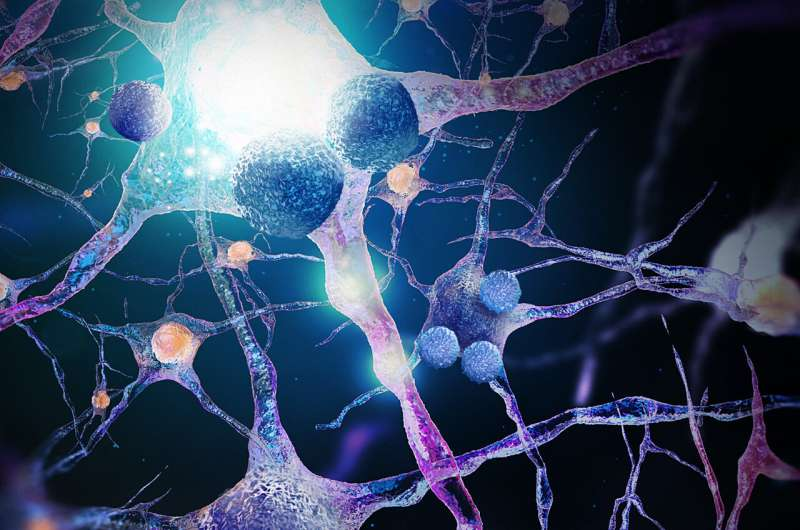 Study explores the effects of immune responses on the aging brain