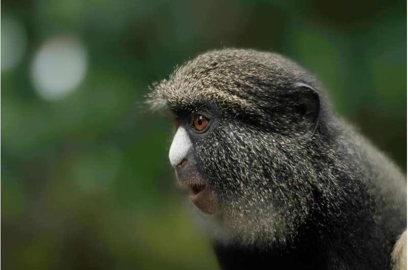 "Study: Female monkeys use males as ""hired guns"" for defense against predators"