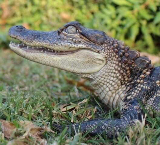 Study finds alligator hearts keep beating no matter what
