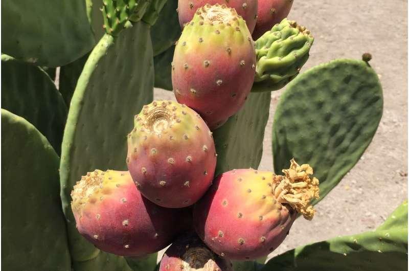 Η μελέτη δείχνει ότι το αχλάδι του κάκτου είναι ανθεκτική στην ξηρασία καλλιέργεια για βιώσιμα καύσιμα και τρόφιμα