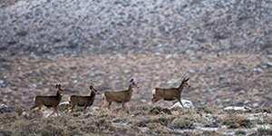 Study shows multiple factors shape timing of birth in mule deer