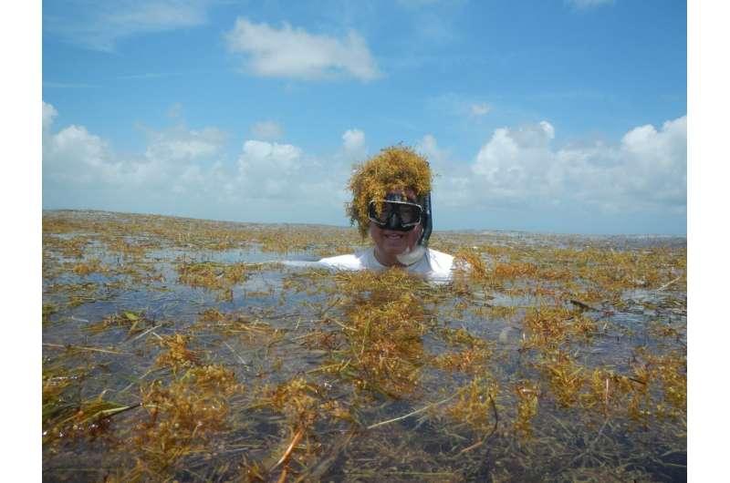 Surge in nitrogen has turned sargassum into the world's largest harmful algal bloom