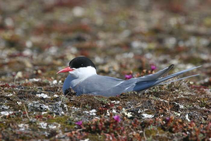Surprising insights into the migration pattern of world's farthest-migrating species
