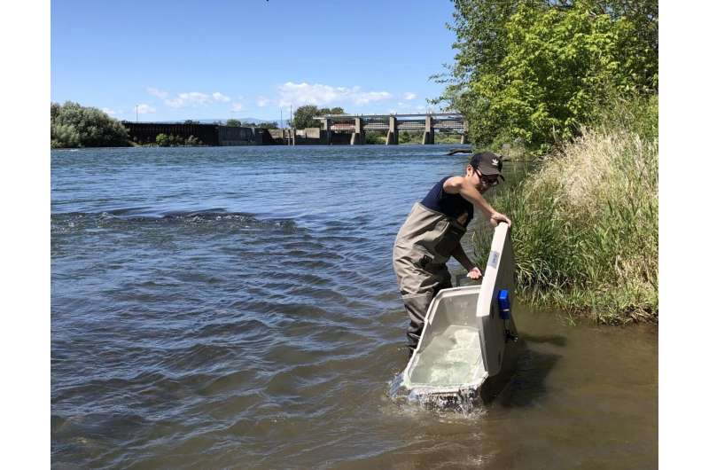 Survival of migrating juvenile salmon depends on stream flow thresholds