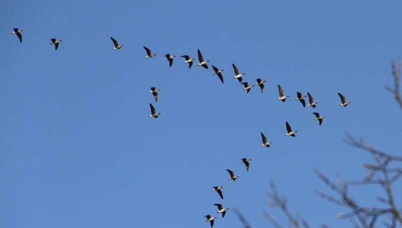 Swarm yields new insight into animal migration