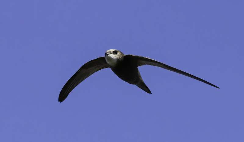 Swifts set new record for swiftness