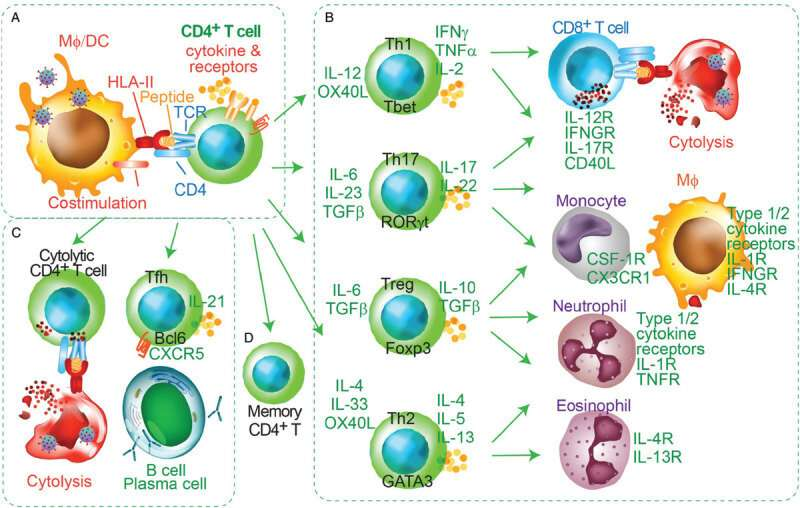 T-cell responses in respiratory diseases