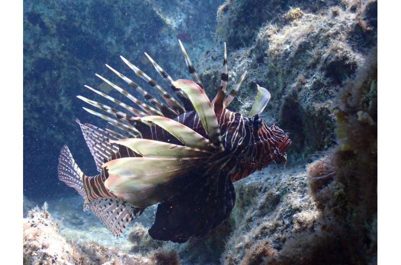 Targeted removals and enhanced monitoring can help manage lionfish in the Mediterranean