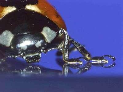 Tarsal adhesion mechanisms of ladybird beetles ascertained