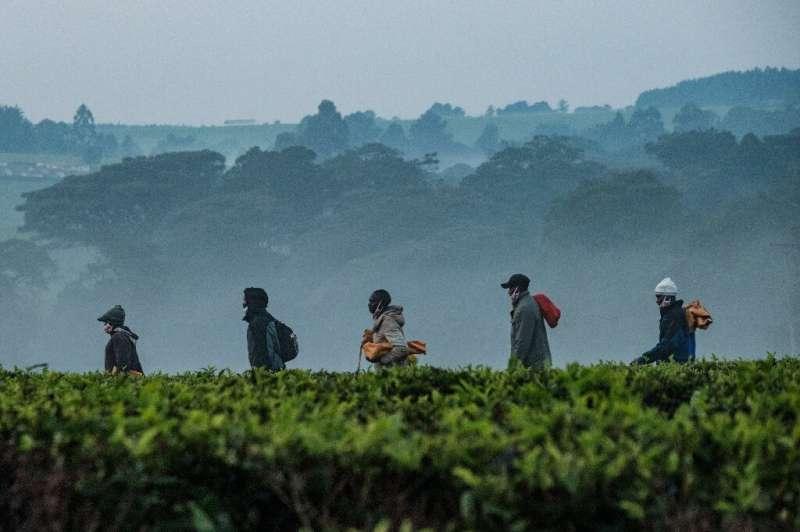 El té es la bebida más consumida en el mundo después del agua.