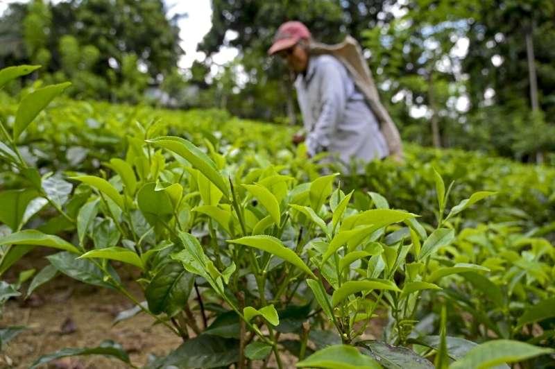 Los propietarios de las plantaciones de té advierten que una mala cosecha causaría un enorme desempleo
