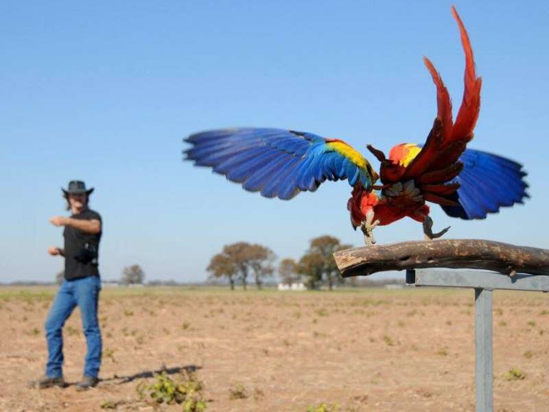 Texas A&M researchers apply free-flight training to parrot conservation