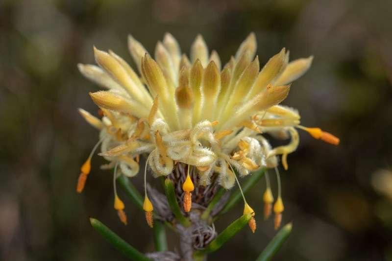 Las 50 hermosas plantas australianas en mayor riesgo de extinción y cómo salvarlas
