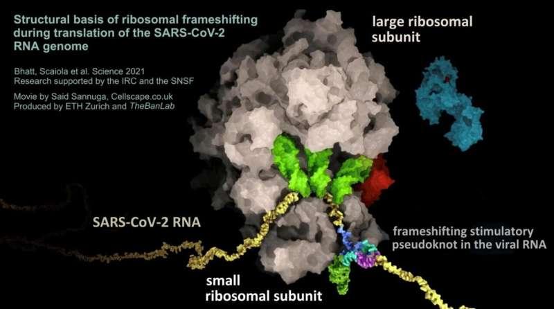 The Achilles heel of the coronavirus